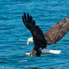 Bald Eagle - Cape Breton Island, Nova Scotia<br /> Pygarge à tête blanche - île du Cap Breton, Nouvelle Écosse