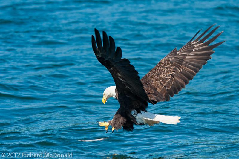 Bald Eagle - Cape Breton Island, Nova Scotia Pygarge à tête blanche - île du Cap Breton, Nouvelle Écosse
