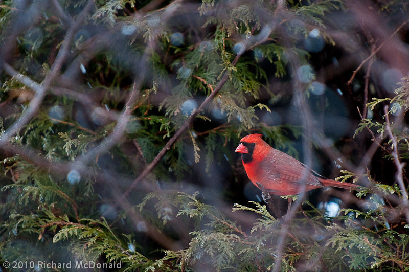 Northern Cardinal - Male, Aylmer, Quebec<br /> Cardinal rouge, Aylmer, Quebec