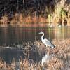Great Blue Heron, Gatineau, Quebec, Canada<br /> Grand héron, Gatineau, Québec, Canada