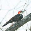 Pileated Woodpecker, Aylmer, Quebec<br /> Grand Pic, Aylmer, Québec