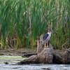 Black-crowned Night Heron - Aylmer, Québec<br /> Bihoreau gris - Aylmer, Québec