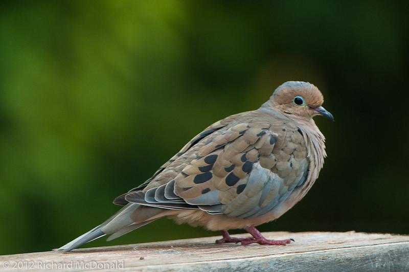 Mourning Dove, Aylmer, Quebec<br /> Tourterelle triste, Aylmer, Québec