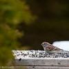 American Tree Sparrow, Aylmer, Quebec<br /> Bruant hudsonien, Aylmer, Québec