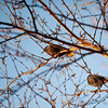 European Starlings, Aylmer, Quebec<br /> Étourneaux sansonnet, Aylmer, Québec
