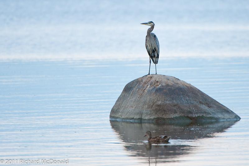 Great Blue Heron, Ottawa River, Aylmer, Quebec, Canada<br /> Grand héron, Rivière des Outaouais, Aylmer, Québec, Canada