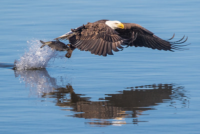 Bald eagle with his catch. Conowingo Dam is an awesome place for photographing bald eagles.