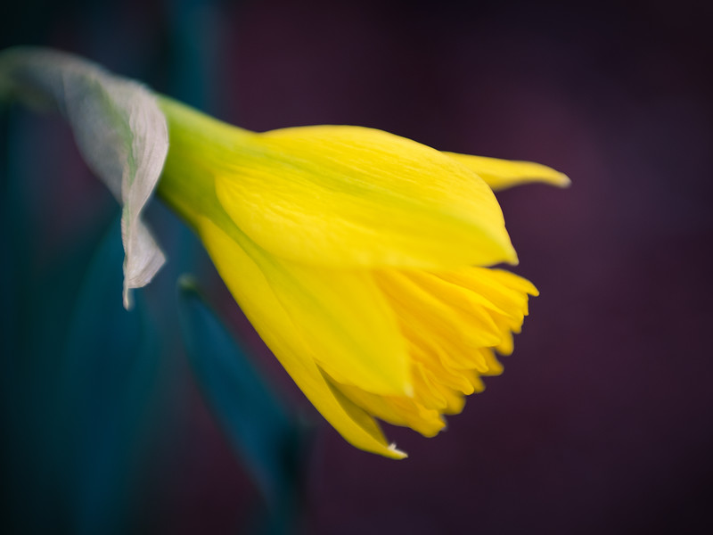 Daffodil in Bloom