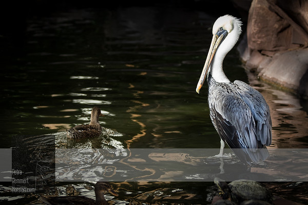 Click for Wikipedia information on the California brown pelican (Pelecanus occidentalis).