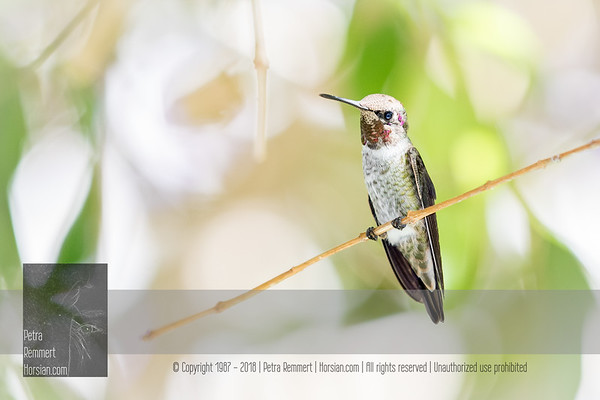 Click for Wikipedia information on the Hummingbird (Trochilidae).