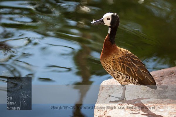 Click for Wikipedia information on the white-faced whistling duck (Dendrocygna viduata).