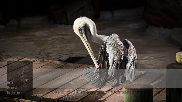 Click for Wikipedia information on the California brown pelican (Pelecanus occidentalis).