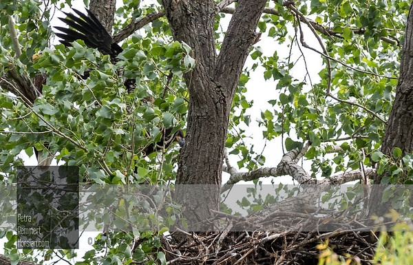 June 25, 2018: Is mom/dad watching? Eaglet was only visible for a few minutes during 1h 30m and stayed at the back of the nest most of the time. One parent always close on branch. No food was brought by other parent.
