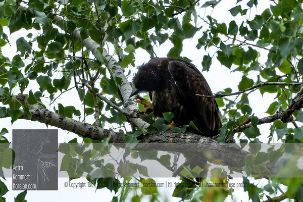 June 27, 2018: Eaglet was only on branches for 2h. Parents were absent.