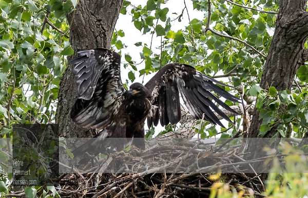June 25, 2018: Eaglet was only visible for a few minutes during 1h 30m and stayed at the back of the nest most of the time. One parent always close on branch. No food was brought by other parent.