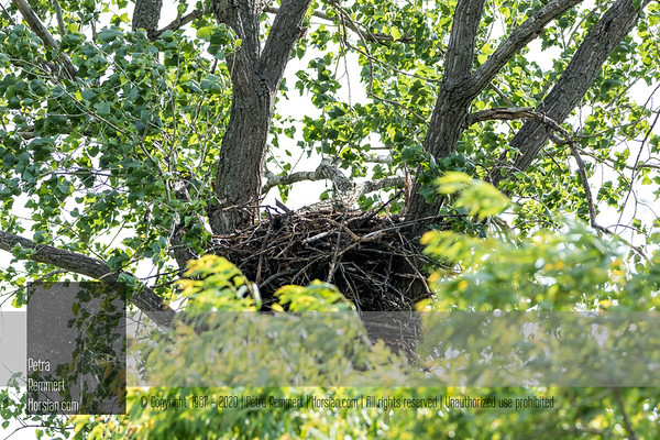 June 29, 2018: No Eagle at nest. Saw a young Bald Eagle cruising in the distance. Yay!