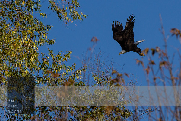For more information on the Bald Eagle (Haliaeetus leucocephalus) click Wikipedia.