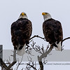 "Is this the <a class=""url"" href=""https://horsian.smugmug.com/NatureDogsAndMuchMore/Around-the-world/Minnesota/55/"" target=""_blank""><b><u>""55 Bald Eagle Couple""</u></b></a>?  The air-line distance to that nest is approx 2 miles. <br><br> For more information on the Bald Eagle (Haliaeetus leucocephalus) click <a class=""url"" href=""http://en.wikipedia.org/wiki/Bald_Eagle"" target=""_blank""><u><b>Wikipedia</b></u></a>."
