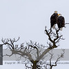 """Is this the <a class=""""url"""" href=""""https://horsian.smugmug.com/NatureDogsAndMuchMore/Around-the-world/Minnesota/55/"""" target=""""_blank""""><b><u>""""55 Bald Eagle Couple""""</u></b></a>?  The air-line distance to that nest is approx 2 miles. <br><br> For more information on the Bald Eagle (Haliaeetus leucocephalus) click <a class=""""url"""" href=""""http://en.wikipedia.org/wiki/Bald_Eagle"""" target=""""_blank""""><u><b>Wikipedia</b></u></a>."""
