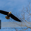 "This impression represents the ""The 55 Bald Eagle Couple"". Click <a class=""url"" href=""https://horsian.smugmug.com/NatureDogsAndMuchMore/Around-the-world/Minnesota/55/"" target=""_blank""><b><u>55 Bald Eagle Couple</u></b></a> for viewing all impressions.  For more information on the Bald Eagle (Haliaeetus leucocephalus) click <a class=""url"" href=""http://en.wikipedia.org/wiki/Bald_Eagle"" target=""_blank""><u><b>Wikipedia</b></u></a>."
