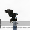"""For more information on the Bald Eagle (Haliaeetus leucocephalus) click <a class=""""url"""" href=""""http://en.wikipedia.org/wiki/Bald_Eagle"""" target=""""_blank"""">Wikipedia</a>."""