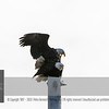 "For more information on the Bald Eagle (Haliaeetus leucocephalus) click <a class=""url"" href=""http://en.wikipedia.org/wiki/Bald_Eagle"" target=""_blank"">Wikipedia</a>."