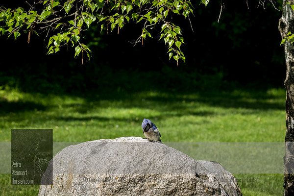 For more information on the Blue jay (Cyanocitta cristata) click Wikipedia.