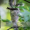 Nest maintenance: Cottonwood