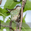 Imagine you sit at the dining table, have Dinner and enjoy the view over the lawn. Your eyes automatically follow a Hummer. You see it flying to… What? What is that? Another nest?  Let's celebrate Pollinator Awareness Week! With another #Hummingbird nest! In the neighboring tree! Amazing!!!