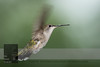 "August 23, 2016 <br> View my collection of all Hummingbird impressions taken in Minnesota in the <b><a class=""url"" href=""http://smu.gs/29lqfMK"" target=""_blank"">Hummingbird gallery</a></b>. <br> For more information on the female ruby-throated hummingbird (Archilochus colubris) click <b><a class=""url"" href=""https://en.wikipedia.org/wiki/Ruby-throated_hummingbird"" target=""_blank"">Wikipedia</a><b>.</b></b>"