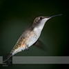 "September 20, 2016 <br> View my collection of all Hummingbird impressions taken in Minnesota in the <b><a class=""url"" href=""http://smu.gs/29lqfMK"" target=""_blank"">Hummingbird gallery</a></b>. <br> For more information on the young male ruby-throated hummingbird (Archilochus colubris) click <b><a class=""url"" href=""https://en.wikipedia.org/wiki/Ruby-throated_hummingbird"" target=""_blank"">Wikipedia</a><b>.</b></b>"