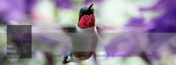 June 06, 2016 View my collection of all Hummingbird impressions taken in Minnesota in the Hummingbird gallery.  For more information on the ruby-throated hummingbird (Archilochus colubris) click Wikipedia.