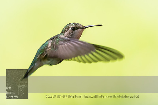 June 05, 2016 View my collection of all Hummingbird impressions taken in Minnesota in the Hummingbird gallery.  For more information on the female ruby-throated hummingbird (Archilochus colubris) click Wikipedia.