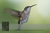 "August 29, 2016 <br> View my collection of all Hummingbird impressions taken in Minnesota in the <b><a class=""url"" href=""http://smu.gs/29lqfMK"" target=""_blank"">Hummingbird gallery</a></b>. <br> For more information on the female ruby-throated hummingbird (Archilochus colubris) click <b><a class=""url"" href=""https://en.wikipedia.org/wiki/Ruby-throated_hummingbird"" target=""_blank"">Wikipedia</a><b>.</b></b>"
