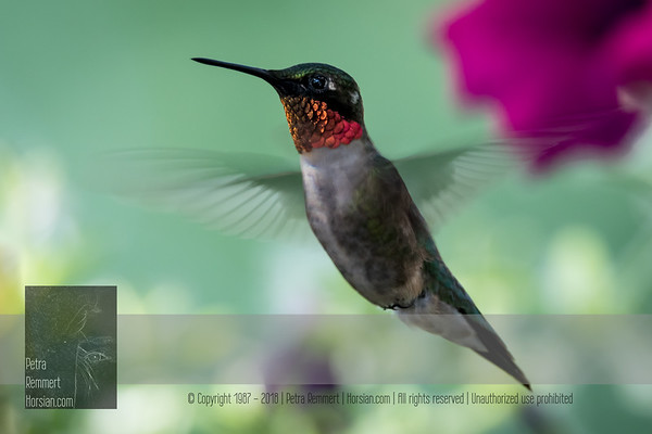 June 19, 2016 View my collection of all Hummingbird impressions taken in Minnesota in the Hummingbird gallery.  For more information on the ruby-throated hummingbird (Archilochus colubris) click Wikipedia.