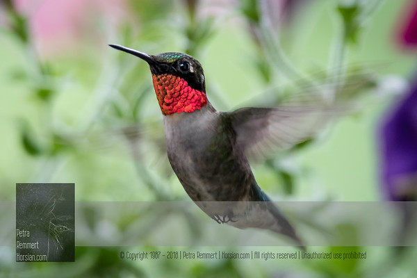 June 13, 2016 View my collection of all Hummingbird impressions taken in Minnesota in the Hummingbird gallery.  For more information on the ruby-throated hummingbird (Archilochus colubris) click Wikipedia.
