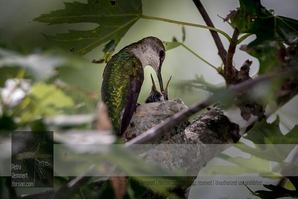 Hummingbirds 2016