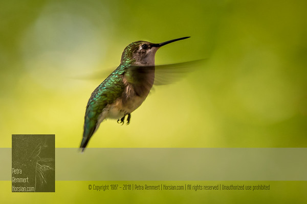 May 26, 2016 View my collection of all Hummingbird impressions taken in Minnesota in the Hummingbird gallery.  For more information on the female ruby-throated hummingbird (Archilochus colubris) click Wikipedia.