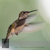 """August 21, 2016 <br> View my collection of all Hummingbird impressions taken in Minnesota in the <b><a class=""""url"""" href=""""http://smu.gs/29lqfMK"""" target=""""_blank"""">Hummingbird gallery</a></b>. <br> For more information on the hummingbird (Trochilidae) click <b><a class=""""url"""" href=""""https://en.wikipedia.org/wiki/Hummingbird"""" target=""""_blank"""">Wikipedia</a></b>."""