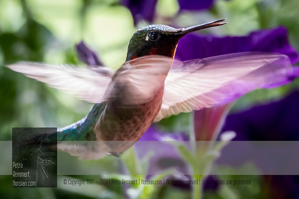 June 08, 2016 View my collection of all Hummingbird impressions taken in Minnesota in the Hummingbird gallery.  For more information on the ruby-throated hummingbird (Archilochus colubris) click Wikipedia.