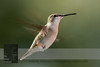 "September 18, 2016 <br> View my collection of all Hummingbird impressions taken in Minnesota in the <b><a class=""url"" href=""http://smu.gs/29lqfMK"" target=""_blank"">Hummingbird gallery</a></b>. <br> For more information on the female ruby-throated hummingbird (Archilochus colubris) click <b><a class=""url"" href=""https://en.wikipedia.org/wiki/Ruby-throated_hummingbird"" target=""_blank"">Wikipedia</a><b>.</b></b>"