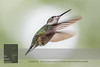 """September 16, 2016 <br> View my collection of all Hummingbird impressions taken in Minnesota in the <b><a class=""""url"""" href=""""http://smu.gs/29lqfMK"""" target=""""_blank"""">Hummingbird gallery</a></b>. <br> For more information on the female ruby-throated hummingbird (Archilochus colubris) click <b><a class=""""url"""" href=""""https://en.wikipedia.org/wiki/Ruby-throated_hummingbird"""" target=""""_blank"""">Wikipedia</a><b>.</b></b>"""