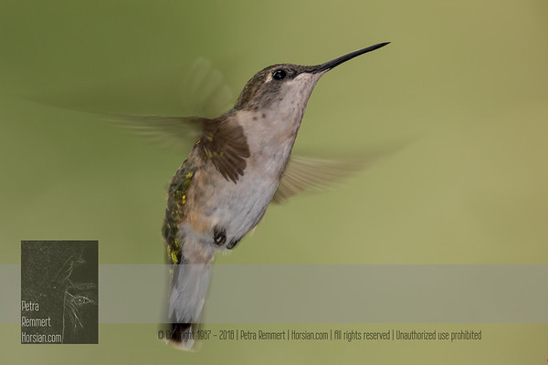 """August 30, 2016 <br> View my collection of all Hummingbird impressions taken in Minnesota in the <b><a class=""""url"""" href=""""http://smu.gs/29lqfMK"""" target=""""_blank"""">Hummingbird gallery</a></b>. <br> For more information on the female ruby-throated hummingbird (Archilochus colubris) click <b><a class=""""url"""" href=""""https://en.wikipedia.org/wiki/Ruby-throated_hummingbird"""" target=""""_blank"""">Wikipedia</a><b>.</b></b>"""