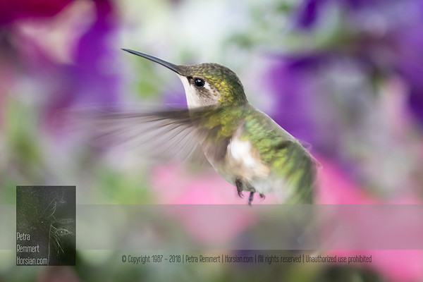 June 02, 2016 View my collection of all Hummingbird impressions taken in Minnesota in the Hummingbird gallery.  For more information on the female ruby-throated hummingbird (Archilochus colubris) click Wikipedia.
