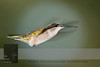 """September 18, 2016 <br> View my collection of all Hummingbird impressions taken in Minnesota in the <b><a class=""""url"""" href=""""http://smu.gs/29lqfMK"""" target=""""_blank"""">Hummingbird gallery</a></b>. <br> For more information on the female ruby-throated hummingbird (Archilochus colubris) click <b><a class=""""url"""" href=""""https://en.wikipedia.org/wiki/Ruby-throated_hummingbird"""" target=""""_blank"""">Wikipedia</a><b>.</b></b>"""