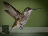 """September 16, 2016 <br> View my collection of all Hummingbird impressions taken in Minnesota in the <b><a class=""""url"""" href=""""http://smu.gs/29lqfMK"""" target=""""_blank"""">Hummingbird gallery</a></b>. <br> For more information on the young male ruby-throated hummingbird (Archilochus colubris) click <b><a class=""""url"""" href=""""https://en.wikipedia.org/wiki/Ruby-throated_hummingbird"""" target=""""_blank"""">Wikipedia</a><b>.</b></b>"""