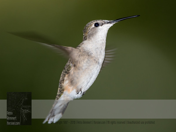 """September 20, 2016 <br> View my collection of all Hummingbird impressions taken in Minnesota in the <b><a class=""""url"""" href=""""http://smu.gs/29lqfMK"""" target=""""_blank"""">Hummingbird gallery</a></b>. <br> For more information on the female ruby-throated hummingbird (Archilochus colubris) click <b><a class=""""url"""" href=""""https://en.wikipedia.org/wiki/Ruby-throated_hummingbird"""" target=""""_blank"""">Wikipedia</a><b>.</b></b>"""