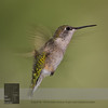 "August 30, 2016 <br> View my collection of all Hummingbird impressions taken in Minnesota in the <b><a class=""url"" href=""http://smu.gs/29lqfMK"" target=""_blank"">Hummingbird gallery</a></b>. <br> For more information on the female ruby-throated hummingbird (Archilochus colubris) click <b><a class=""url"" href=""https://en.wikipedia.org/wiki/Ruby-throated_hummingbird"" target=""_blank"">Wikipedia</a><b>.</b></b>"