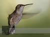 """August 29, 2016 <br> View my collection of all Hummingbird impressions taken in Minnesota in the <b><a class=""""url"""" href=""""http://smu.gs/29lqfMK"""" target=""""_blank"""">Hummingbird gallery</a></b>. <br> For more information on the female ruby-throated hummingbird (Archilochus colubris) click <b><a class=""""url"""" href=""""https://en.wikipedia.org/wiki/Ruby-throated_hummingbird"""" target=""""_blank"""">Wikipedia</a><b>.</b></b>"""