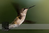 "August 25, 2016 <br> View my collection of all Hummingbird impressions taken in Minnesota in the <b><a class=""url"" href=""http://smu.gs/29lqfMK"" target=""_blank"">Hummingbird gallery</a></b>. <br> For more information on the female ruby-throated hummingbird (Archilochus colubris) click <b><a class=""url"" href=""https://en.wikipedia.org/wiki/Ruby-throated_hummingbird"" target=""_blank"">Wikipedia</a><b>.</b></b>"